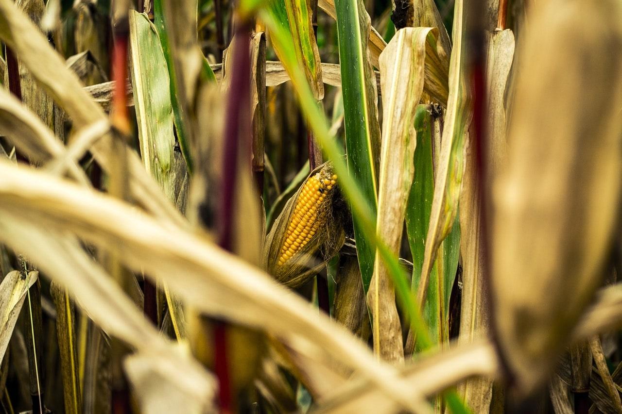 Cash Grain Prices